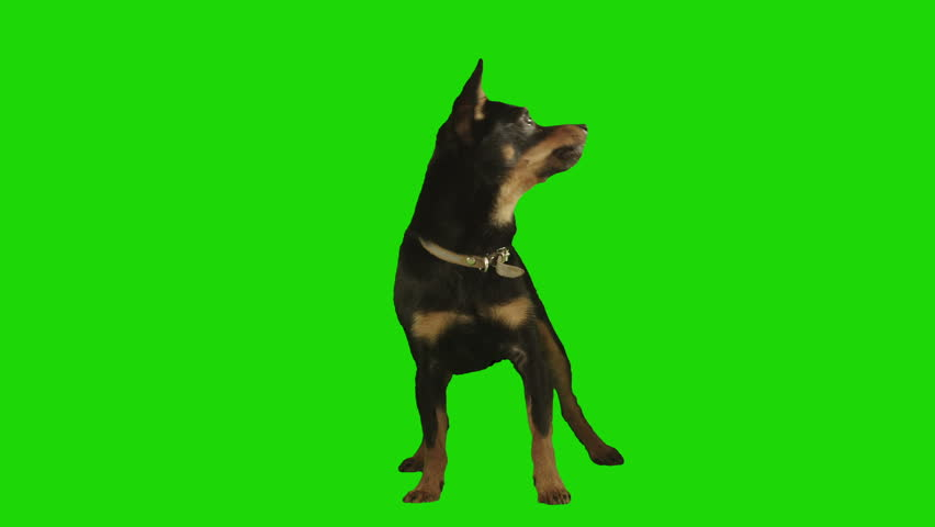 Pack of two. Standing black small dog looks arround and up excited on green screen. Shot with Red camera. Ready to be keyed. Pack of two different videos - HD stock footage clip