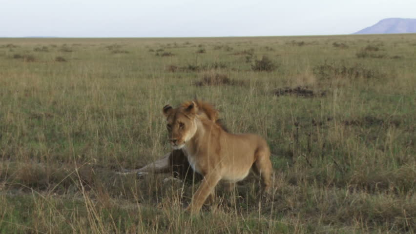 lions mating on side view.  - HD stock video clip