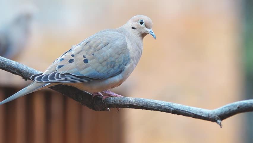 Mourning Dove (Zenaida macroura), popular sport hunting migratory bird. Slow