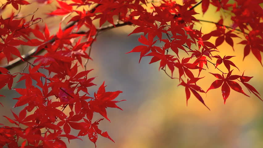 Autumn red maple leaves with foliage in the background.
