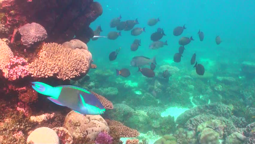 Header of Acanthurus dussumieri