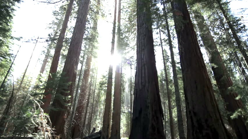 Sunlight streaming through impressive giant redwood trees in Yosemite National Park, California. - HD stock footage clip