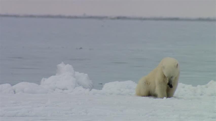Polar bear sitting on the icy shoreline of the Arctic Sea.