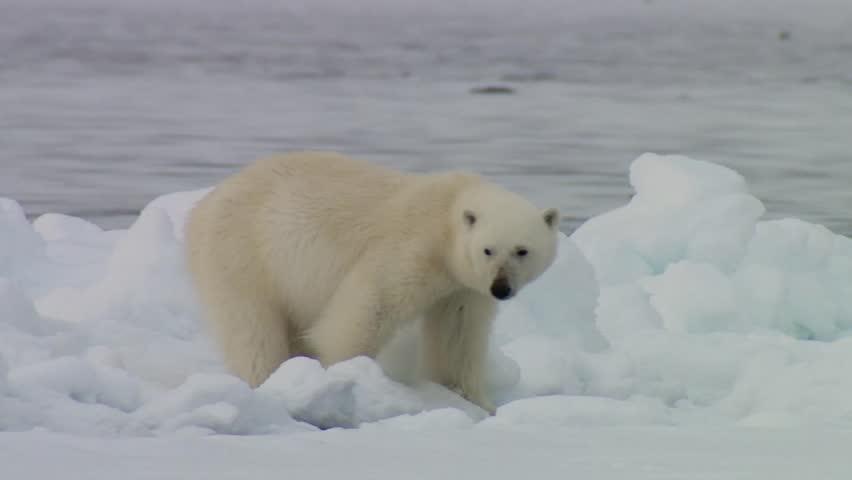 Polar bear walking along the icy shore of the Arctic ocean.