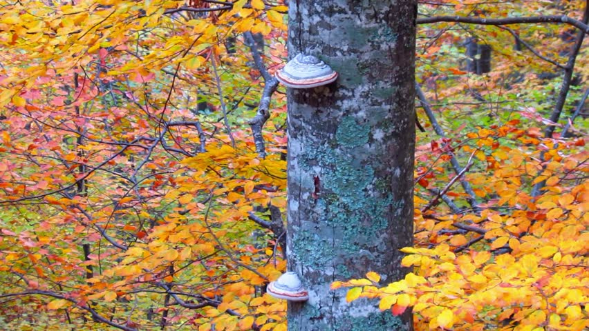 Beech leaves changing colors in autumn - pan left