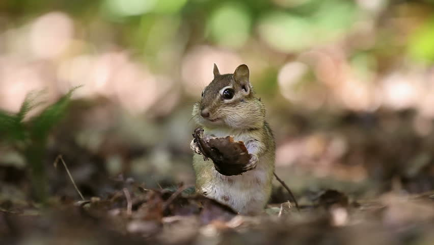 Adult female chipmunk energetically eating a piece of forest mushroom
