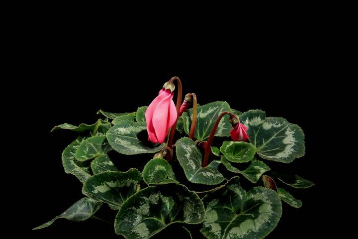 4K.Flowering pink cyclamen on the black background (Cyclamen Latinia Premium Fuchsia flamme F1) (Time Lapse), 4096x2730.  - 4K stock footage clip