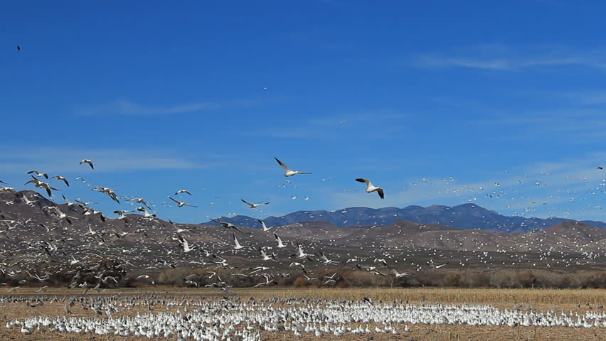 Spectacular nature scenic, thousands of birds fly into blue sky, takeoff from field, mountain background.1080p,