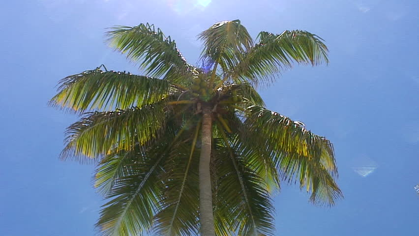 Coconut Tree From A Lowangle. HD 1080 Stock Footage Video