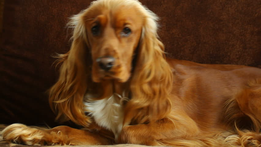 Gemutlich In Englisch :  looking at the camera, English Cocker Spaniel  HD stock footage clip