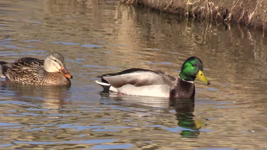 A Wild Duck Swims In The River Stock Footage Video 5405489 ...