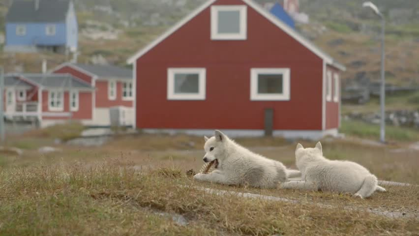 Two puppies lying in a grassy Greenland field. - HD stock video clip