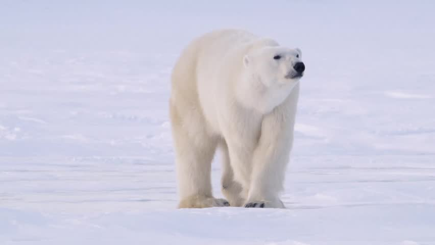 Polar Bear standing in the arctic looking toward the camera.