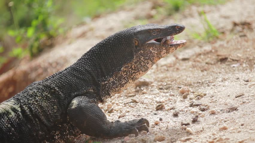 how to eat monitor lizard