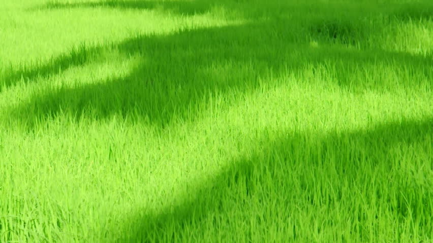Rice plant and shadow of palm tree cause from wind effect - HD stock video clip