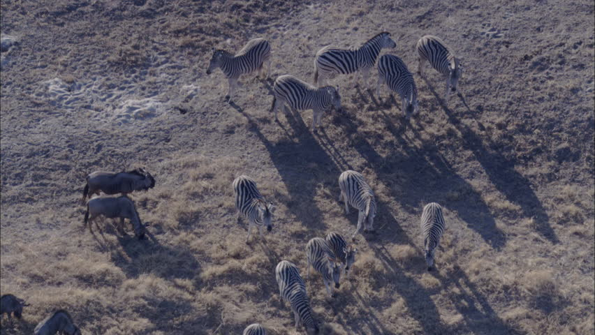 Zebra Wildebeest Herd Grazing Savanna. Herds of zebra and wildebeest graze a vast savanna in Africa. The animals co-exist in the feeding without any territorial discrepancies. - HD stock footage clip