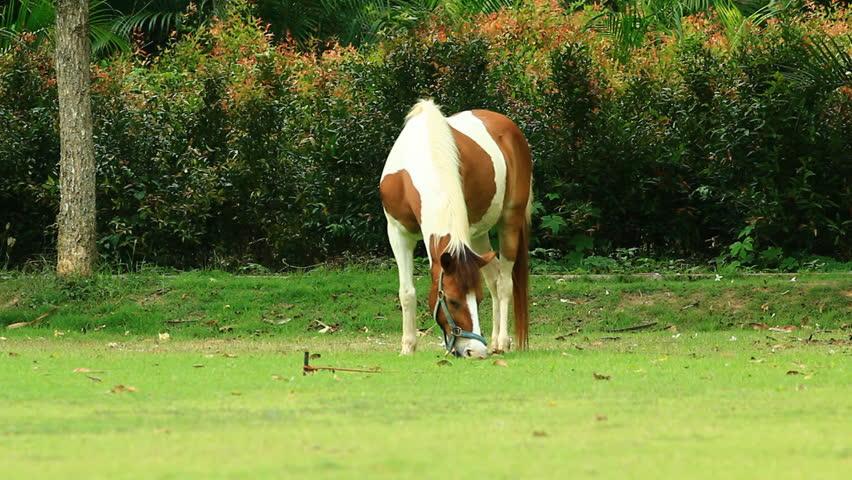 Thai Pony - HD stock footage clip