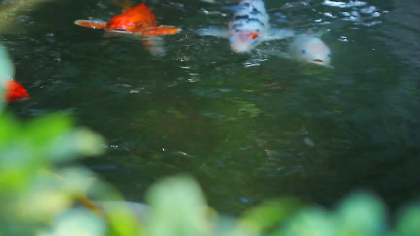 Koi, Fancy Carp are swimming