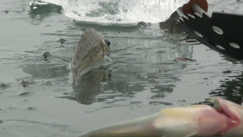 Fish on the ice of the river in winter - HD stock footage clip