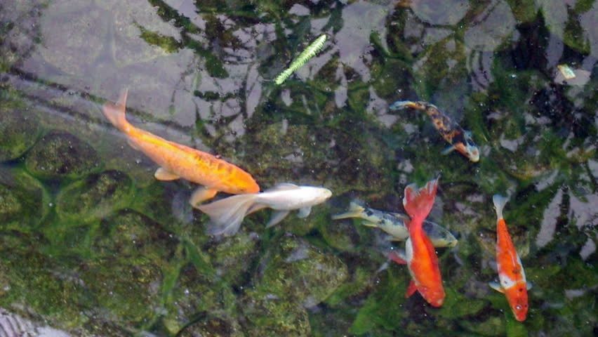 Colorful carp fish stock footage video 2184418 shutterstock for Koi fish to pond ratio