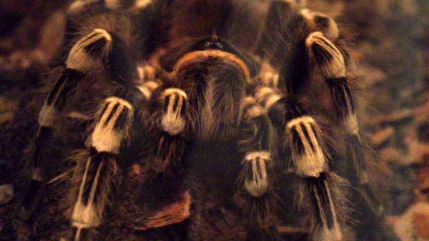 Header of Acanthoscurria geniculata