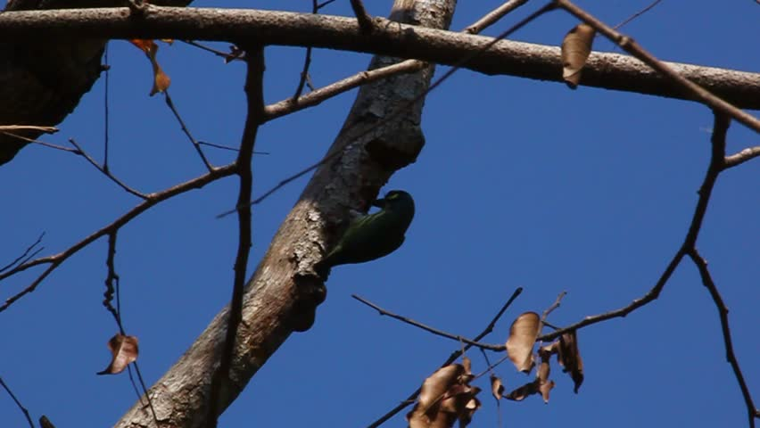 Coppersmith barbet bird burrowing a nest hole in the tree. - HD stock video clip