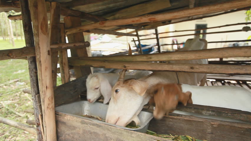 Thai Baby Goat eats in a bamboo stable.