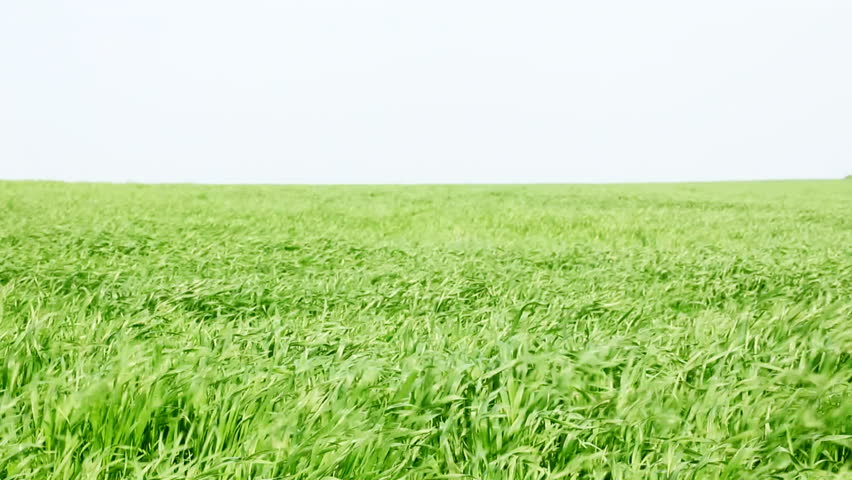 HD 1080 static: Wheat stalks swinging on the strong wind upon a bright sky