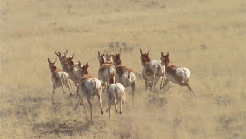 pronghorn running over grasslands shot from helicopter in slow motion - HD stock footage clip