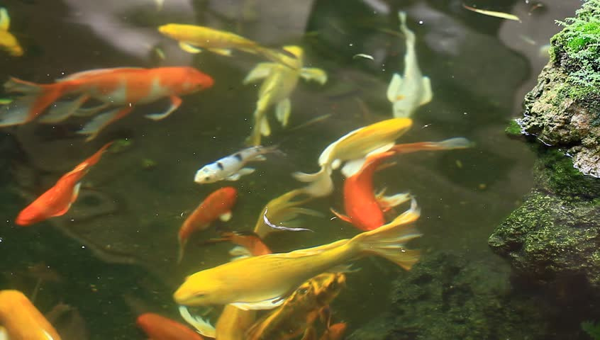 Koi fish swimming pool