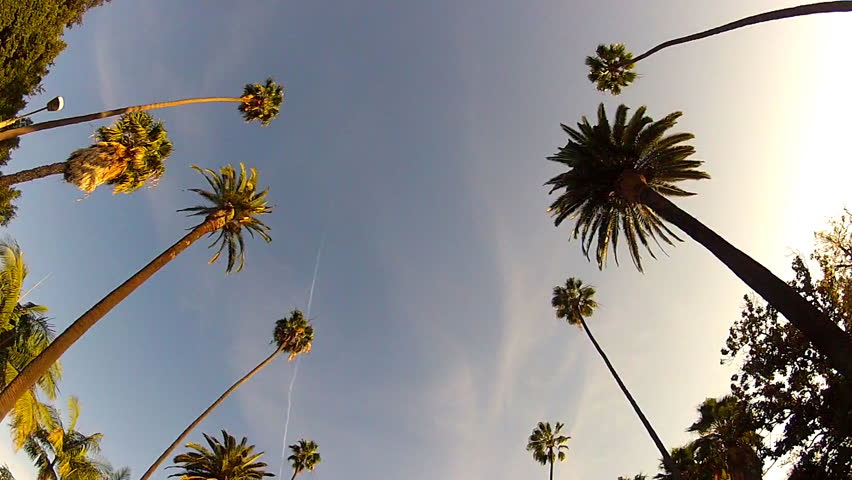 Wide shot of driving with camera looking up at iconic Beverly Hills, California palm trees, This clip features a view of the palm trees passing by under blue skies. | Shutterstock HD Video #5739440