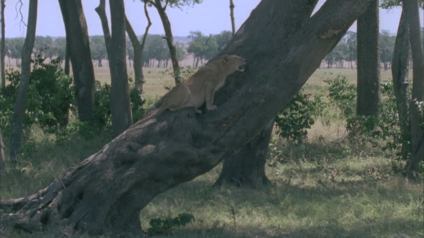 Lion on a tree - HD stock footage clip