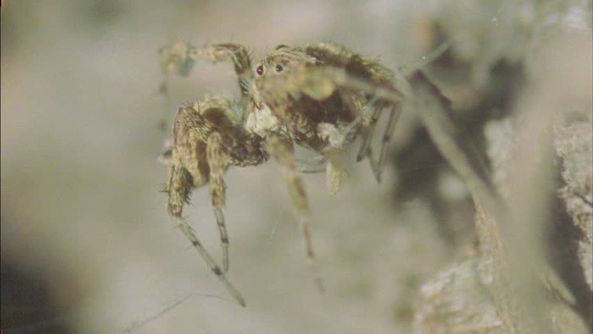 predatory Portia spider eating young redback spiderlings - HD stock footage clip
