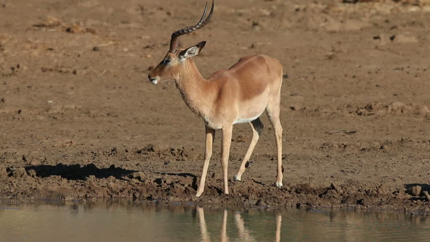 male impala antelope aepyceros melampus drinking water. Black Bedroom Furniture Sets. Home Design Ideas