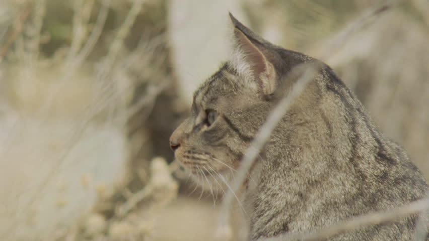 Close up of a Feral Cat in the grass - HD stock video clip