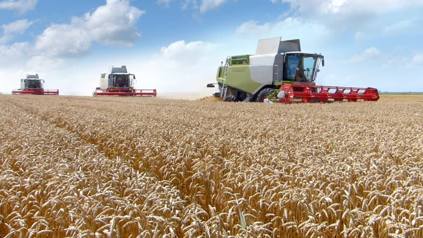 Wheat harvest, three combine harvesters working on the wheat field