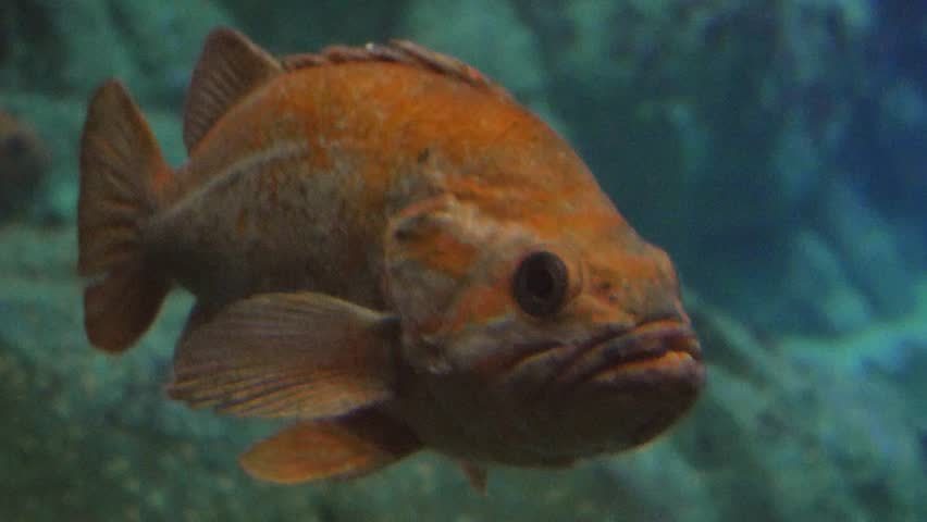 Monterey, California - January, 2014 - Yelloweye rockfish (Sebastes ruberrimus) also known as red snapper.