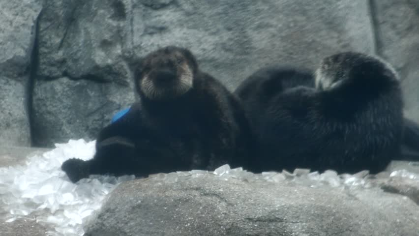 Monterey, California - January, 2014 - Medium shot of a baby sea otter and a surrogate mother otter scratching themselves.