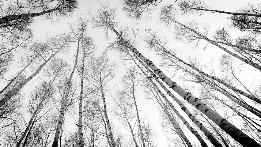 Head up view on to the birch tops: wind moves trunks of russian trees   Shutterstock HD Video #5868986