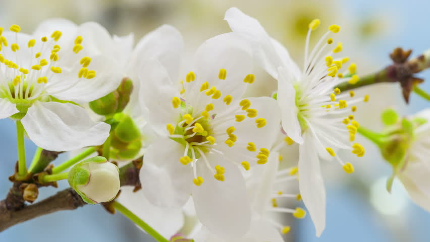 4k 25 fps time lapse video of a wild plum flower growing on a blue background/Wild plum flower blossoming