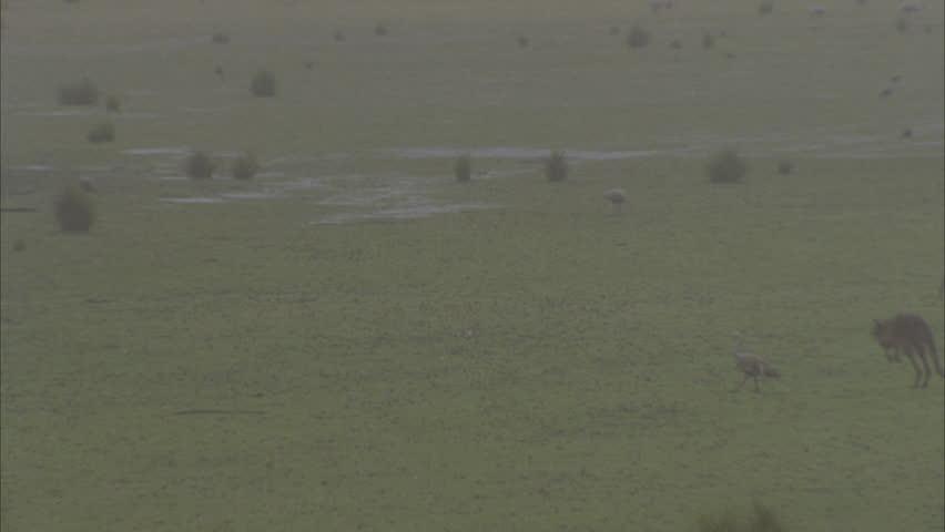 Kangaroo hopping in rain Cape Barren geese in BG - HD stock video clip