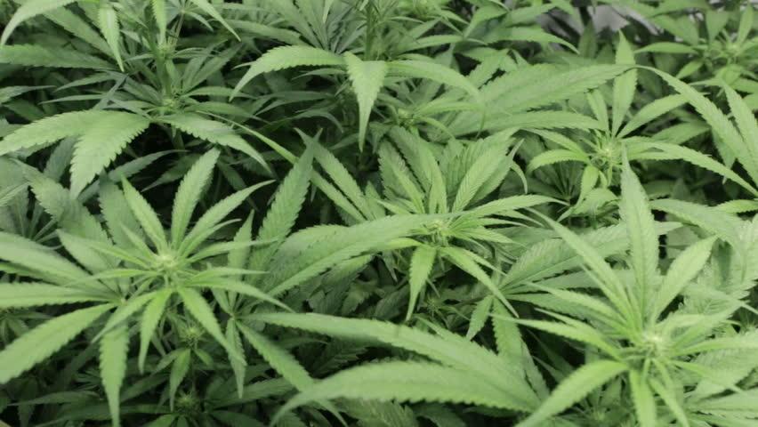A field of healthy medical marijuana plants