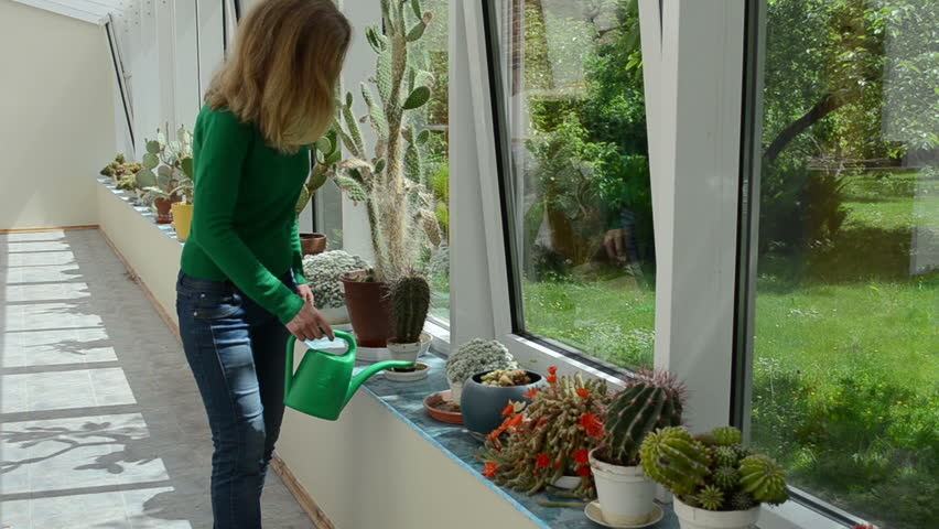 blond pretty girl woman water huge cactus plants with green watering can in greenhouse. Black Bedroom Furniture Sets. Home Design Ideas