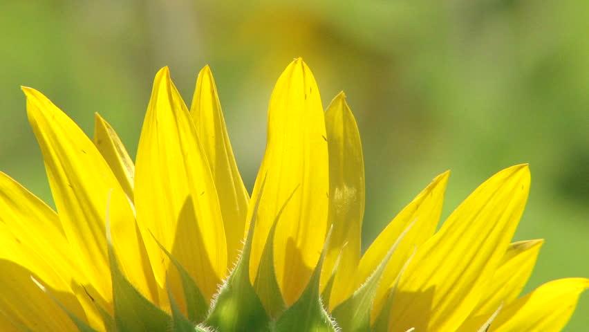 sunflower petal - HD stock video clip