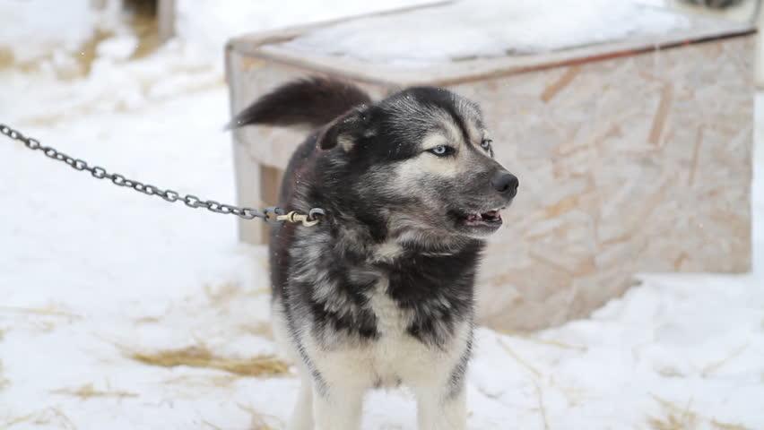 Husky Sled Dog Barking