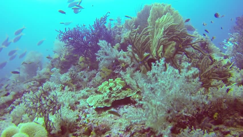 Colorful Fish on Vibrant Coral Reef, static scene, Raja Ampat - HD stock footage clip