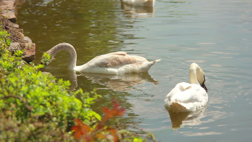 white swan dive headlong into the water looking for their own food