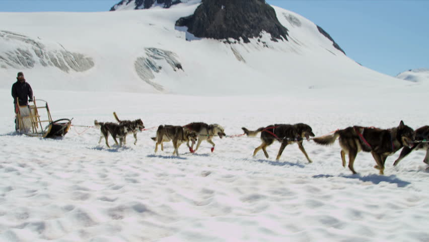 Aerial View Team Of Alaskan Husky Dogsledding Usa