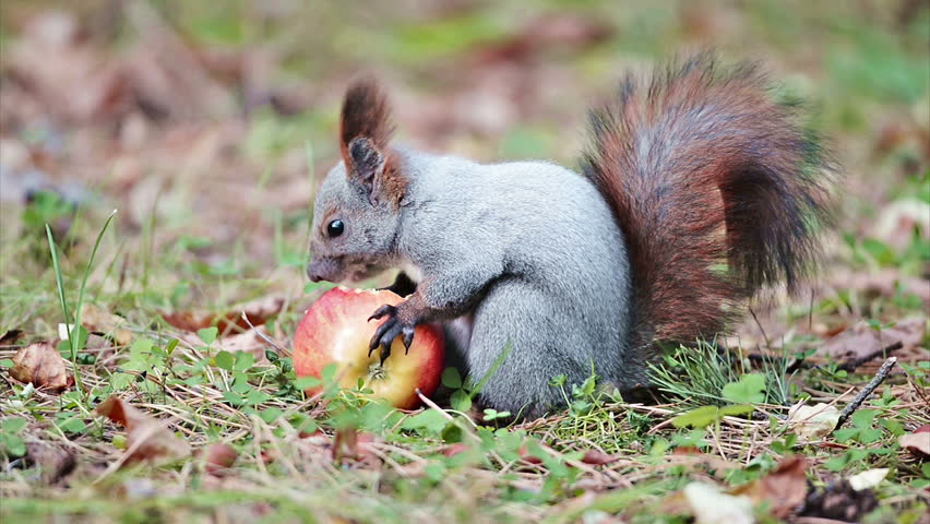 Squirrel eating an apple - HD stock video clip