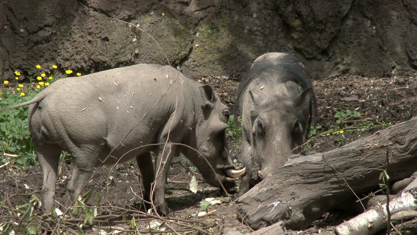 Warthogs - 4K stock footage clip